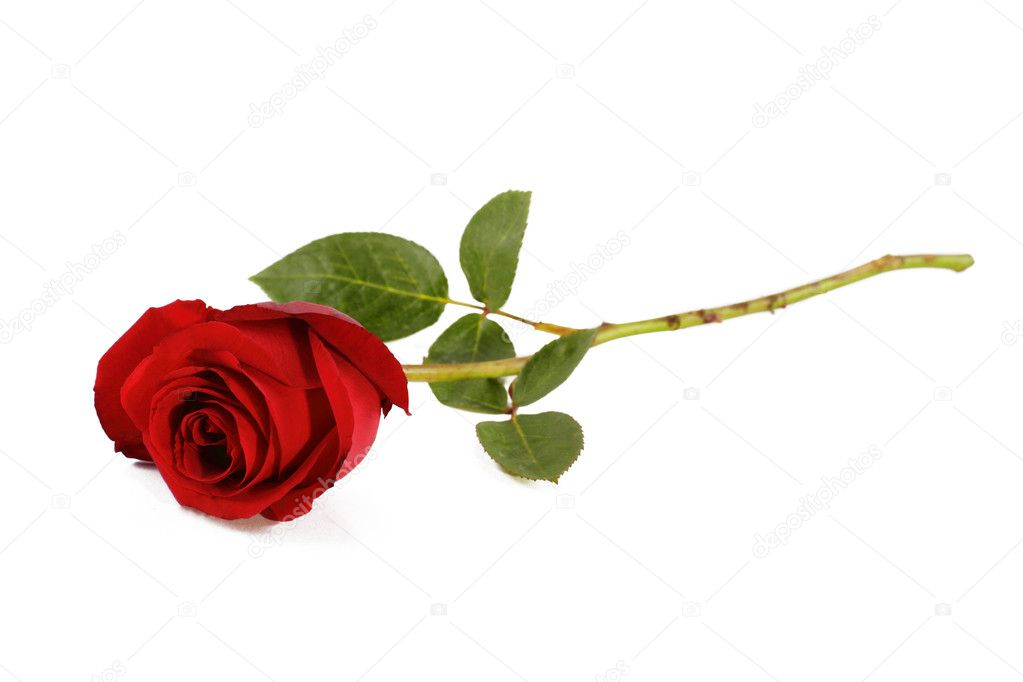 A stalk of red rose isolated in white background — Stock Photo #2147290