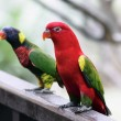 Stock Photo: AustraliKing Parrot