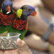 Green-naped Lorikeet — Stock Photo