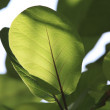 Stock Photo: Kandoo tree leafs