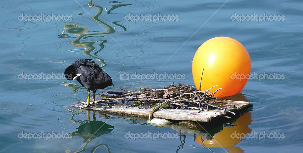 Black duck toileting on its nest on water next to an orange ball — Stock Photo #2248748
