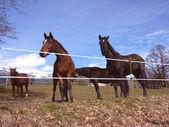 Cavalli in un prato — Foto Stock