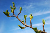 Branch of tree with young leaves — Stock Photo