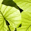 Close-up of backlit Alocasia — Stock Photo