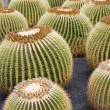 Golden Barrel Cactus - Stock Photo