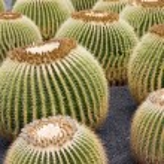 Złoty barrel cactus — Zdjęcie stockowe