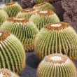 Golden barrel cactus — Photo