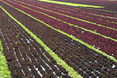 Red lettuce — Stock Photo