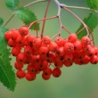Mountain ash branch — Stock Photo