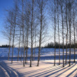 Winter birchwood — Stock Photo