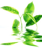 Branches of ficus reflected in the water — Stock Photo