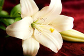 White lily on red background — Stock Photo