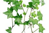 Hera verde — Fotografia Stock
