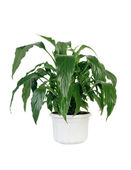 Green home plant in pot. — Stock Photo