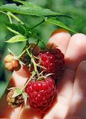 Raspberry in hand — Stock Photo