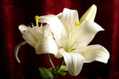 White lily on the red background — Stock Photo