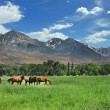 brown horses grazing in the mountain mea — Stock Photo