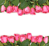Lined up Pink Roses on White — Stock Photo
