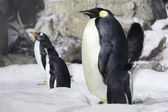 Emperor Penguin Looking On — Stock Photo