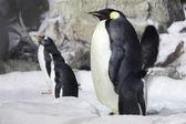 Emperor Penguin Looking On — Stock Photo