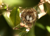 2 Hummingbird Eggs in a Nest — Stock Photo