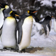 Stock Photo: Emperor Penguins Hanging Out Together