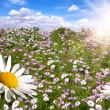 Foto Stock: Happy Field of Colorful Daisies With Bri