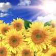 Bright Yellow Sunflowers on a Beautiful — Stock Photo