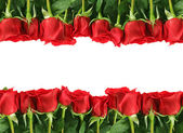 Rows of Red Roses on White — Stock Photo