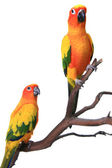 2 Sun Conure Parrots on a Natural Branch — Stock Photo