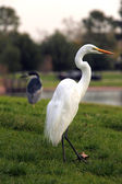 Snowy Egret Bird Outdoors — Stock Photo