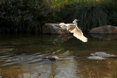 Snowy Egret Flying Out of Water — Stock Photo