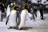 Emperor Penguins Hanging Out Together — Стоковое фото
