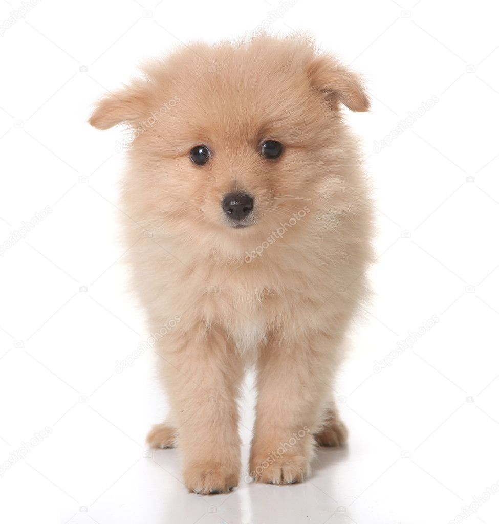 Sweet Tan Colored Pomeranian Puppy on White Background With Droopy Eyes — Stock Photo #2203917