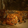 Watchful Eyes of the Tigers — Stock Photo