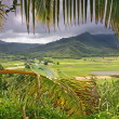 Stock Photo: Taro Fields in Kauai