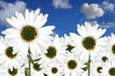 Bright Pretty Daisies Outdoors in a Fiel — Stock Photo