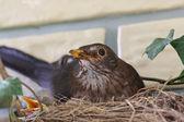 Uccello nero — Foto Stock