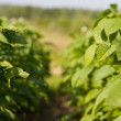 Potato plant - Stock Photo