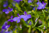 Beautiful puple lobelia — Stok fotoğraf