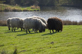 Ganado ovino — Foto de Stock