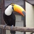 Stock Photo: Toucan