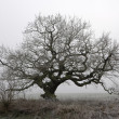 Old oak in fog — Stock Photo