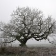Old oak in fog — Stock Photo #2171492