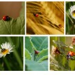 Royalty-Free Stock Photo: Ladybugs collage