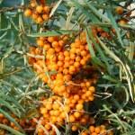Sea buckthorn fruits — Stock Photo