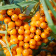 Sea buckthorn fruits — Stock Photo