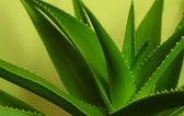Aloe vera plant — Stock Photo