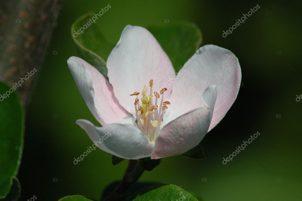 Macro photo of beautiful quince flower — Photo #2185552