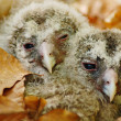 Stock Photo: Owl babies